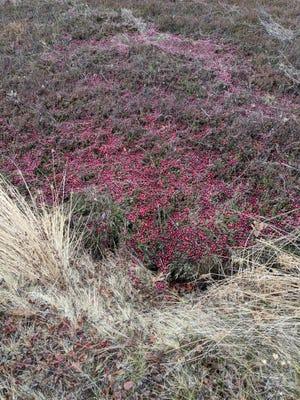 Cranberry quilts offer comfort on bog walks.
