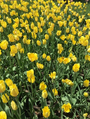 Holland's Tulip Time festival, which runs from May 1-9, will include some changes this year because of COVID.