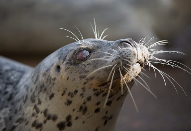Pinky the harbor seal died in December at the Oregon Coast Aquarium in Newport. She was 34.