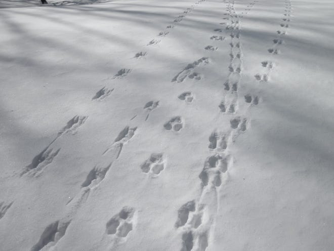 Snowshoe tracks.