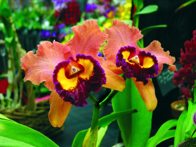 Ocean State Orchid Society meeting takes place Saturday, Jan. 9, at 1 p.m. on Zoom.