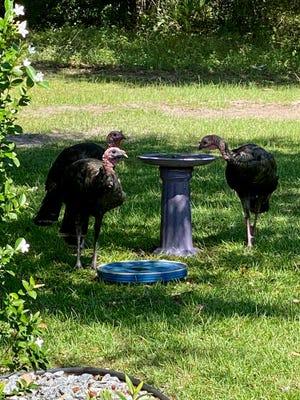 Hot turkeys find cool water.