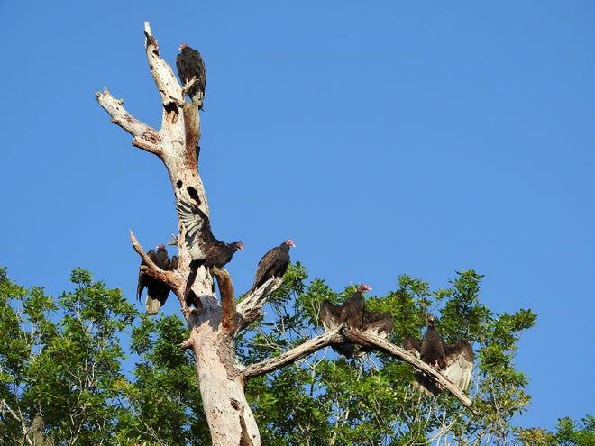 Turkey vultures at Vaill Point.