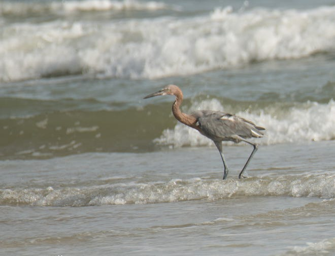 A Reddish Egret dances in the surf to flush out its prey at the beach at Anastasia State Park Beach.