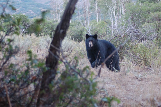 Cutline for attached photo: Luke has had his share of 'close calls' in his years spent in the outdoors but an up close and personal encounter with a big Momma bear is near the top of the list.