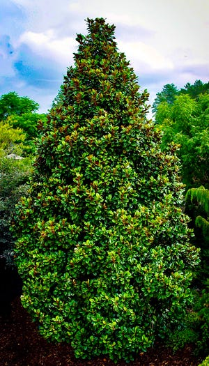 The evergreen southern magnolia 'Teddy Bear' is a very dense-growing, small variety ideal for small home landscapes. The flowers are unexpectedly large. Like all our bull bay Magnolia grandiflora varieties, 'Teddy Bear' has exceptional fragrance.