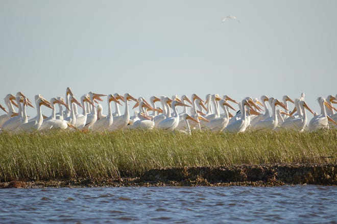 White pelicans are seen in the Shired Island area of the Lower Suwannee National Wildlife Refuge in 2016.