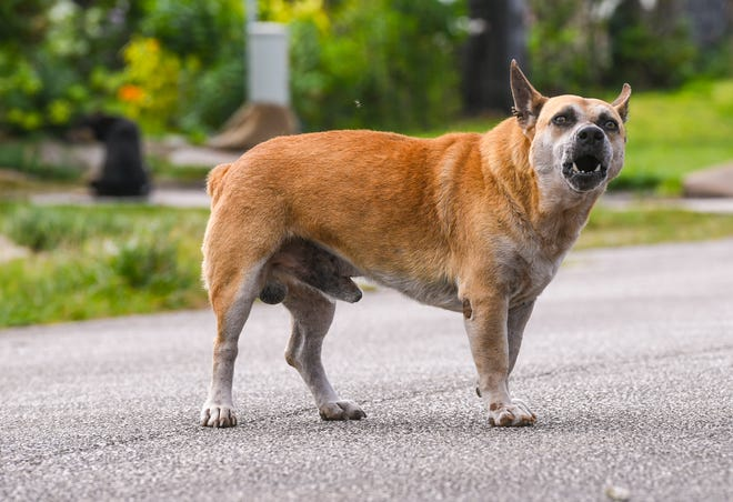An unleased dog stands in the middle of a Dededo neighborhood street and angrily barks as another in the background sits near the driveway of a residential home on Jan. 5, 2021.