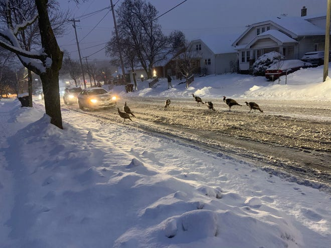 Turkeys have been seen roaming the streets of Wauwatosa for several weeks now.