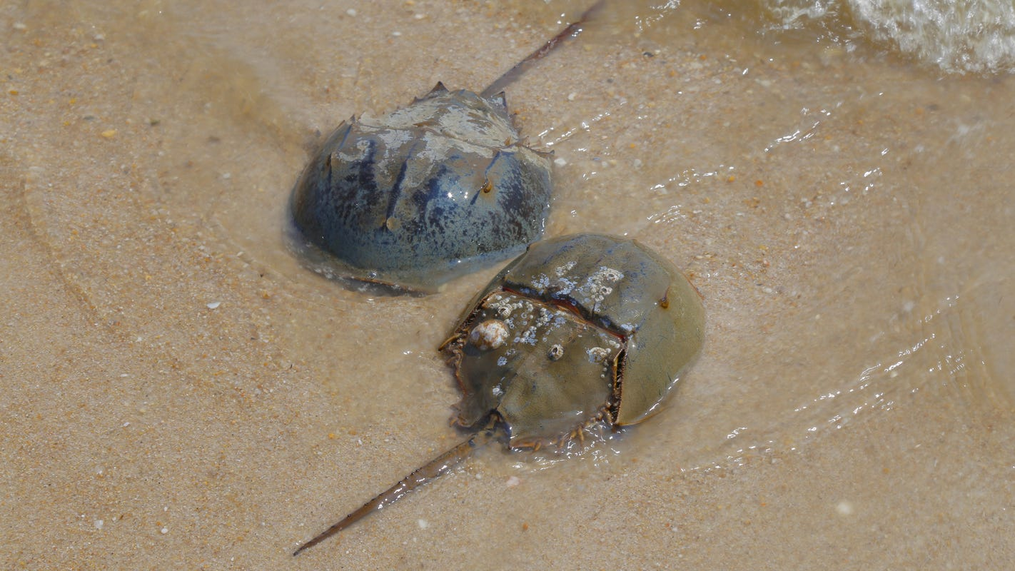 Horseshoe crabs: Green Eggs Sand | Gardener State