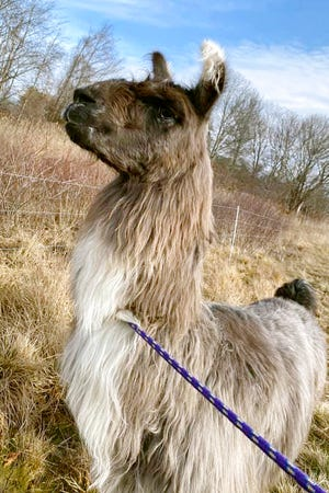 A male llama was found Monday alone in a field near Interstate 95 in Newburyport. The llama was temporarily kept at a local farm until its owner could be located. [Kayla Provencher/Newburyport/West Newbury Animal Control via AP]