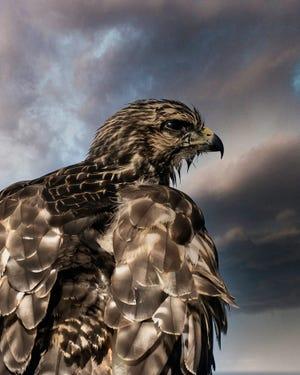 A very wet hawk in St. Augustine Beach.