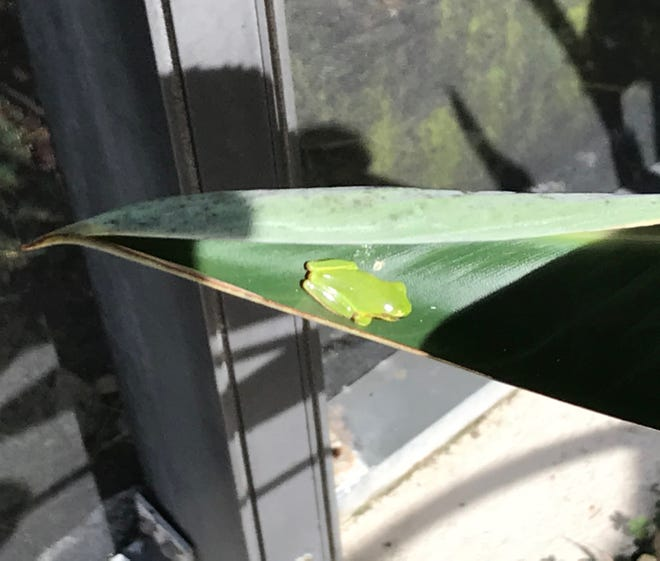 Tree frog sunning itself on a Bird of Paradise leaf.