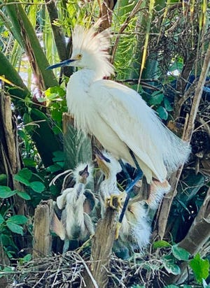 New egret chicks at the Rookery.