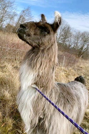 This Jan. 4 photo released by Newburyport/West Newbury Animal Control shows a male llama that was found Monday alone in a field near Interstate 95 in Newburyport.The llama was temporarily kept at a local farm until its owner could be located.