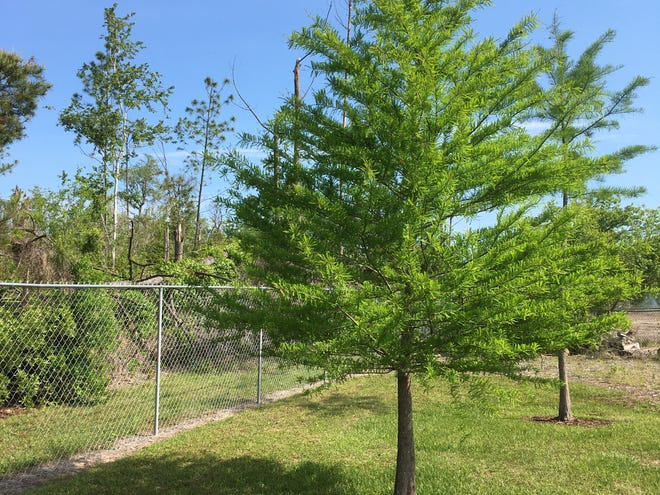 Bald cypress trees can tolerate flooding.