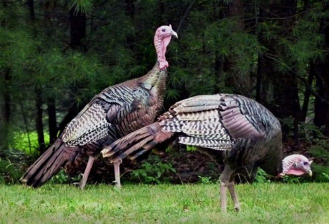 Wild turkeys roam the Cape.