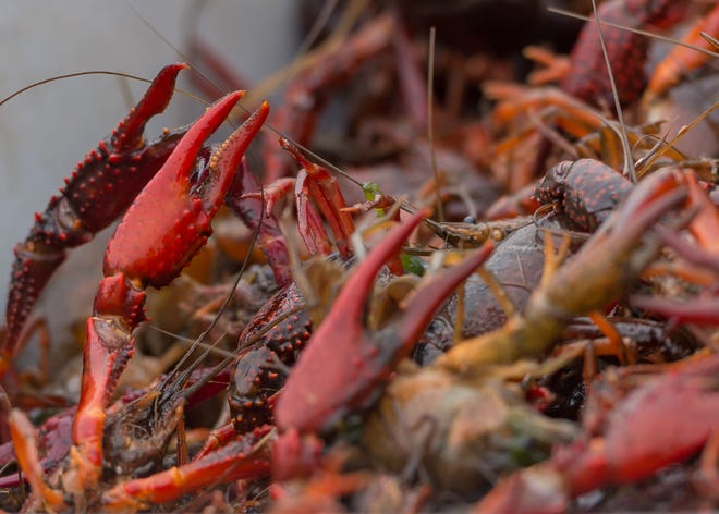 Frugé Seafood harvest the first crawfish for the kick-off of crawfish season. December 6, 2020.