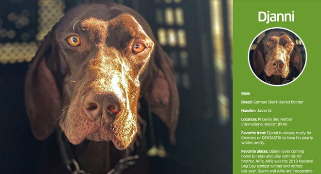 The Transportation Security Administration has featured Djanni, a German Short Haired Pointer stationed at Phoenix Sky Harbor International Airport, as its March 2021 dog of the month.