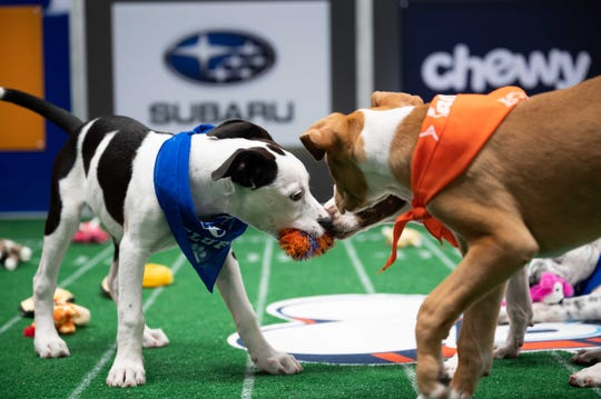 "Puppies playing in the annual ""Puppy Bowl,"" airing Feb. 7 on Animal Planet and the new Discovery+ streaming service."