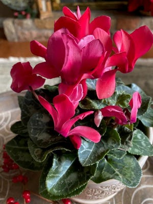 """For something different this winter, try your green thumb at cyclamen. The flower buds rise above the mound of leaves and, when open, have an unusual appearance sometimes described as a """"butterfly landing.""""The clustered foliage is just as unique as the flowers. Leaves are heart-shaped with silver markings and wavy edges."""