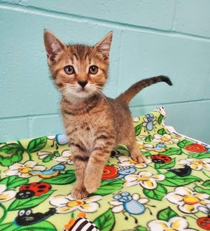 Theodora is a precious female kitten with an approximate date of birth of 8/19/2020. She is a sweet and friendly girl ready to find her furever home! Theodora does well with cats, dogs and kids. She likes to play and cuddle. Consider meeting Theodora at our shelter.