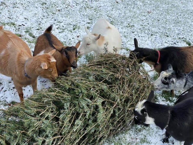 Goats at Channell Homestead in Hanson snack on a leftover Christmas tree. Channell Homestead is currently accepting tree drop-offs for their goats.