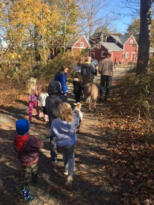Benji the donkey and a few goats take a walk at Holly Hill Farm in Cohasset.