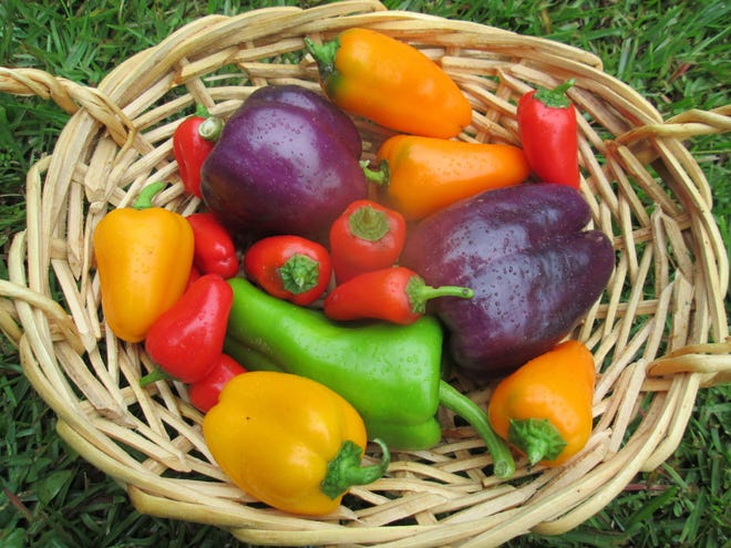 """Peppers are """"warm season"""" vegetables, but exceptionally hot days and warm nights can create problems for peppers and other vegetable crops."""