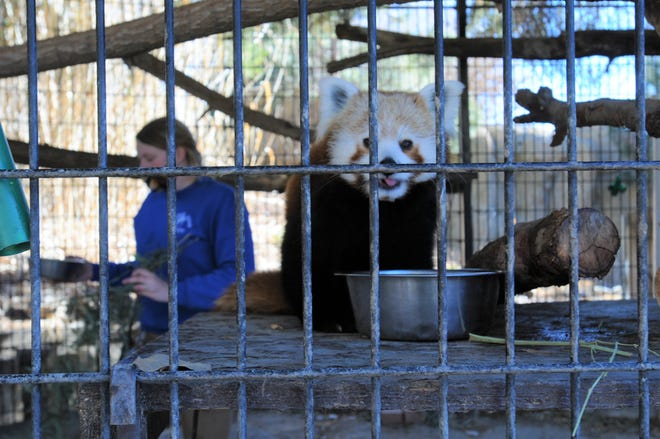 A red panda at the Pueblo Zoo enjoys a morning meal as relief zookeeper Bethany Morlind cleans up its enclosure