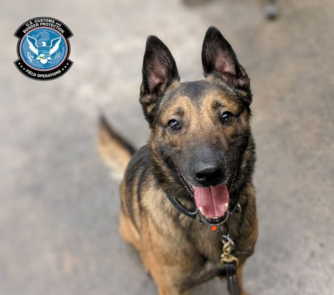 This is Bruno, the drug-sniffing dog that alerted U.S. Customs and Border Protection officers in Cincinnati to methamphetamine hidden in a wooden tortilla press in a shipment of handicrafts from Mexico.