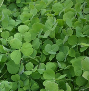 Crimson clover is simple to grow in the home garden, and the seed are inexpensive. Turing the plant into the soil improves water holding capacity and reduced the need for supplemental fertilizer.