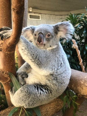 Katy, the Columbus Zoo and Aquarium's female koala, gave birth to a joey on July 5. The baby, which is developing in her pouch, is now about the size of a softball and is expected to fully emerge by mid-March.