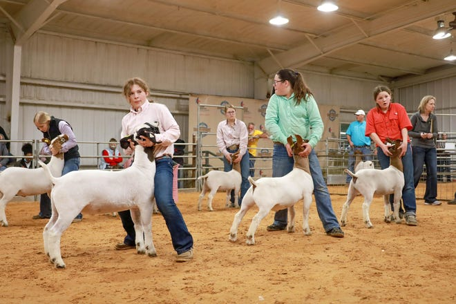 Competitors show off their animals for the judges during the market goat grand drive at this week's Erath County Junior Livestock Show. For more information and photos of grand champions and reserve grand champions in each class, visit the Erath County Livestock Show Facebook page at www.facebook.com/ECJLS or Caitlin Moyer Photography at Cmoyerphotography.com/