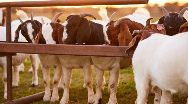 Growing goats will ideally gain 0.25 to 0.3 pounds per day when fed a balanced diet of forages and supplemental feed.