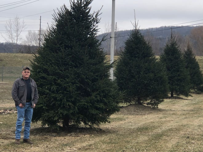 Rob Guy, Hornell DPW foreman, gives the new evergreens at the Shawmut Park some scale on Friday. The Norway Spruce trees were donated by Yule Tree Farms.