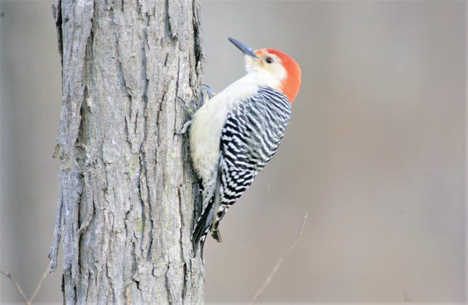 It's estimated the force of a woodpecker's peck is equivalent to a human hitting his head against a hard surface at a speed of 16 mph.