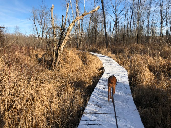 Rosie leads me along the boardwalk covered with a bit of snow on the Sandy Bottom Park Nature Trail.