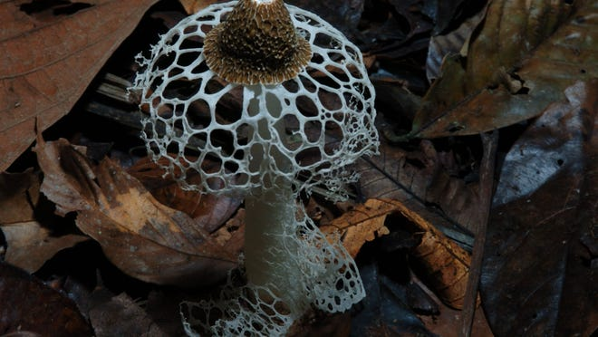 "The mushroom bridal veil is featured in award-winning nature cinematographer Louie Schwartzberg's newest release, ""Fantastic Fungi — The Magic Beneath Us."" The film will be spotlighted in the 13th annual Slow Food Springfield Film Festival which is planned for February."