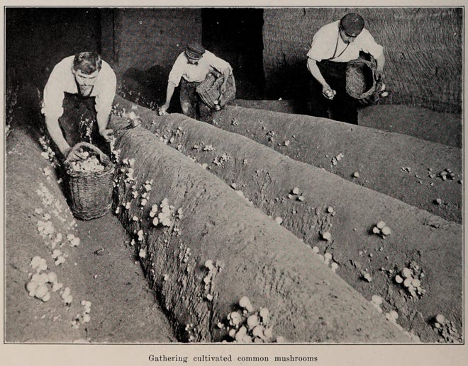Mushrooms have been cultivated  for hundreds of years. Workers are shown gathering cultivated common mushrooms in this photo from The Encyclopedia of Food by Artemas Ward, c.1923.