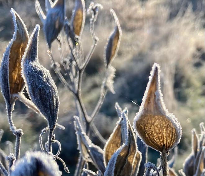 Empty milkpods touched by frost. Many of the Seacoast's native plants go through a process of vernalization, which requires a period of cold to prepare the plant to bud in the spring.