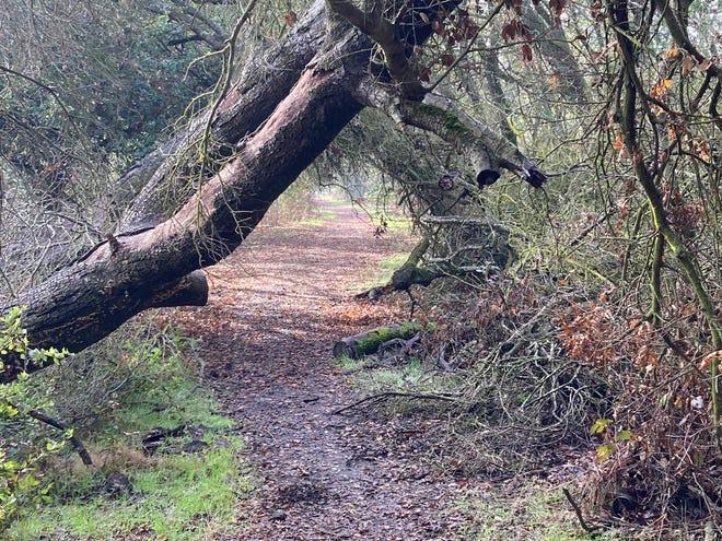 The Delta Meadows Trail is framed in old oaks.