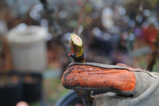When pruning, direct new growth in the correct direction by making a slanted pruning cut just above a growth bud. From the growth bud, which points toward the outside of the plant, new wood will form that grows in that direction.