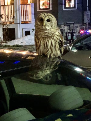 The Barred owl was first perched on Leyva's car, before flying up the tree.
