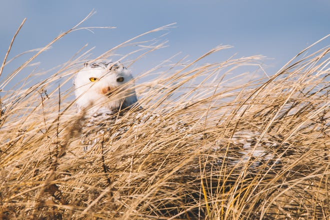 A snowy owl peers through dune grass at Duxbury Beach.