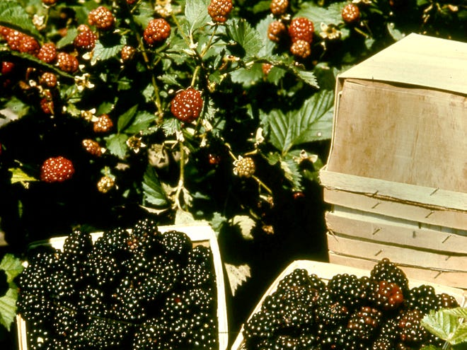 Blackberries were our most productive home fruit crops.