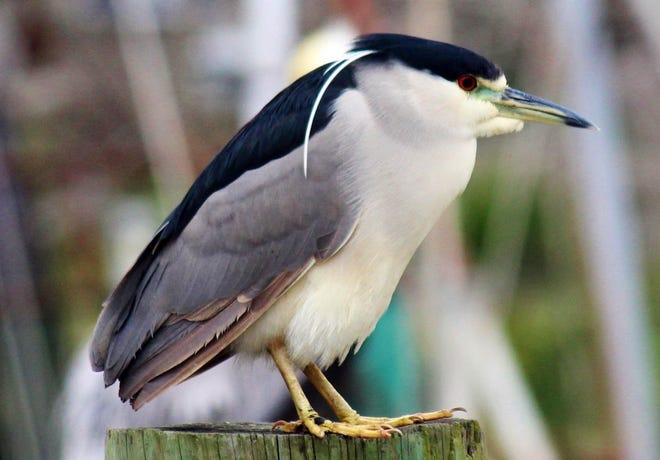 Even with the cooler weather, beautiful birds, like this black crowned night heron, gave us some warmth.