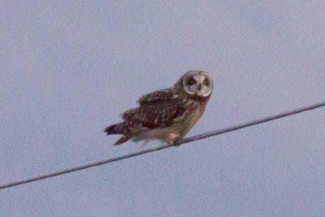 This photo, taken during a December outing last year, is of a chance encounter with a short-eared owl.