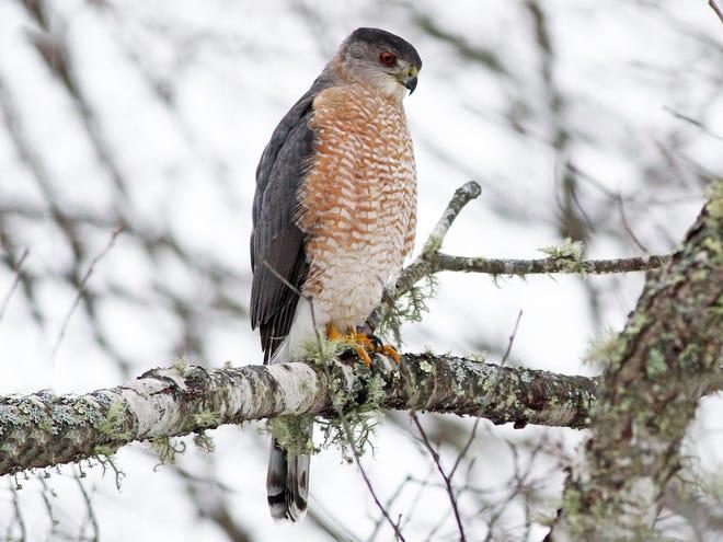 Cooper's Hawks are handsome.