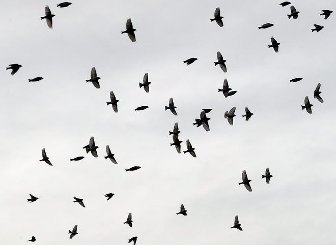 A flock of pine siskins is silhouetted against the clouds as they fly above Kitsap Lake in November.